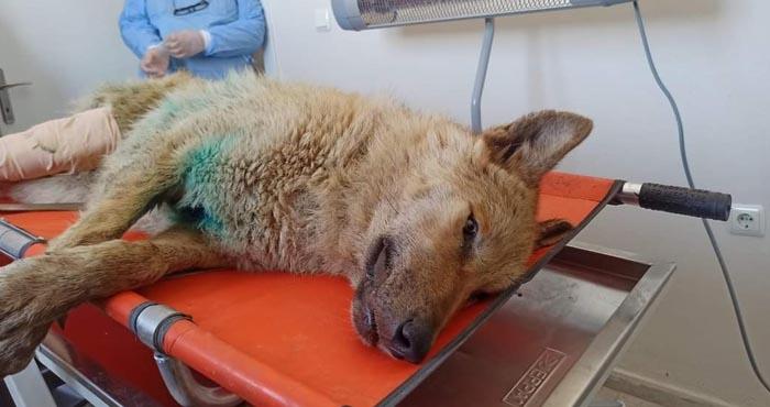 Yaralı kurt tedavi için Kars'a gönderildi