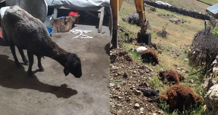 Bingöl'de koyunlar bir bir telef oluyor! Üretici zorda