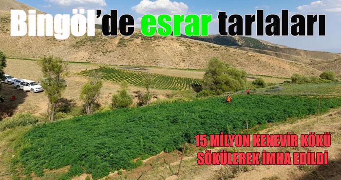 Bingöl'de dev operasyon! 15 milyon kök kenevir ele geçirildi